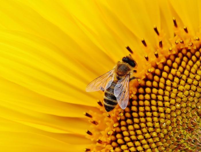 Apiterapie, léčebná terapie včelami